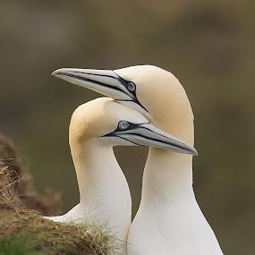 It Must Be Love! by Charlie Davidson - Animals Birds ( wild, scotland, animals, nature, wildlife, birds,  )