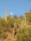 Saguaros and moon 11/4