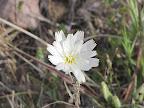 White Tackstem - AZ Trail 4/16