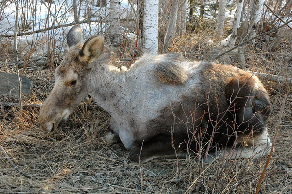A moose in Northern Minnesota has rubbed away fur attempting to get rid of a tick infestation. As winters have gotten warmer and shorter, snowpack melts earlier, and tick populations boom, becoming a much deadlier threat to moose. Photo: nrri.umn.edu