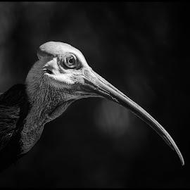 Southern Bald Ibis by Dave Lipchen - Black & White Animals ( southern bald ibis )