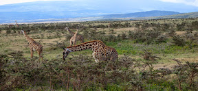 A group of giraffes eating from the scrubby bush on the slopes outside the Ngorongoro Crater.