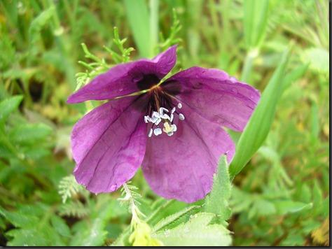 Foto 6 Prospección cereal 26abr07 (14) Roemeria hybrida