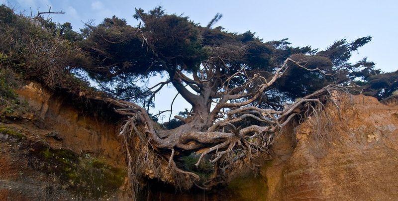 kalaloch-tree-of-life-2