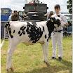 cattle11.jpg