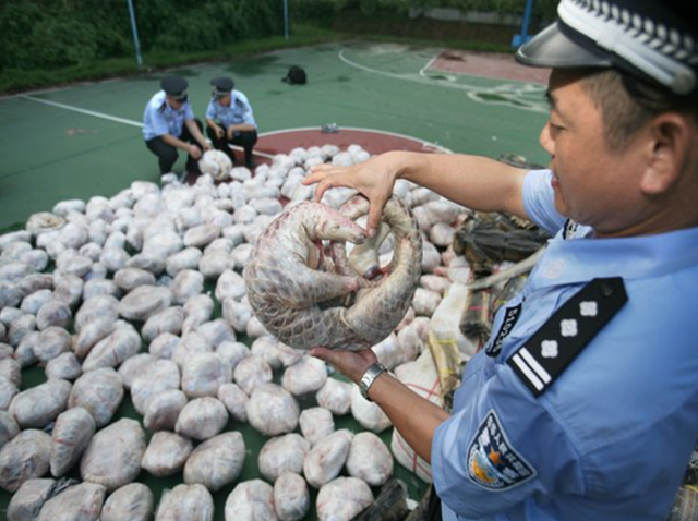 2,674 smuggled pangolin carcasses seized in a fishing boat in September 2015. China's Guangdong Customes said Monday, 2 November 2015. Photo: People's Daily / Twitter