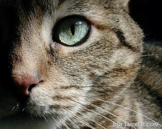 Как вылечить кота от клеща ушного