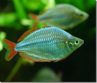 be-ca-canh-dwarf_rainbowfish_Neon_rainbowfish_cathienthanh003-be-thuy-sinh