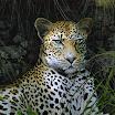 leo  le leopard Site.jpg