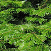 grand_fir_foliage09.jpg