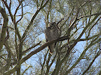 Great Horned owl - Mamoth Wash