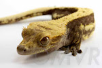 Ferris - Lavendar pinstripe crested gecko from moonvalleyreptiles.com