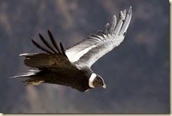 Magnificent Andean Condor