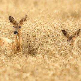 Deer mother with her child by Allan Wallberg - Animals Other Mammals ( child, nature, mother, animal, deer,  )