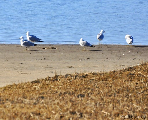 3. gulls on ramp-kab