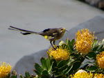 Cape sugarbird (photo by Clare). They're related to sunbirds, and feed on the protea flowers.