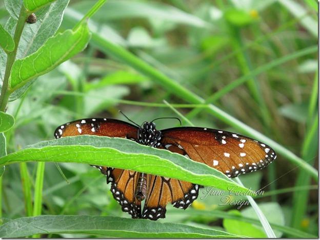 Queen_Butterfly6