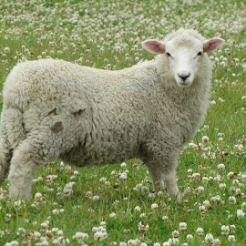Pet Pot Belly by Russell Benington - Animals Other Mammals ( farm, pet, sheep, nz, lamb )