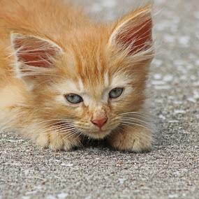 Orange Kitten by Daryl Peck - Novices Only Pets ( kitte, orange, cat, novice, furry, four legged, fur, laying, animal )