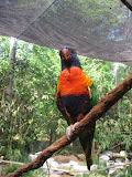 A lorikeet at the Nashville Zoo 09032011d