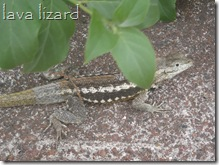 Galapagos Lava Lizard or maybe Leaf Toed Gecko
