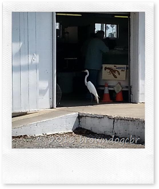 Egret at the shrimp dock 3.