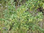 Unidentified flowering shrub close-up - AZ Trail - wash - 4/16