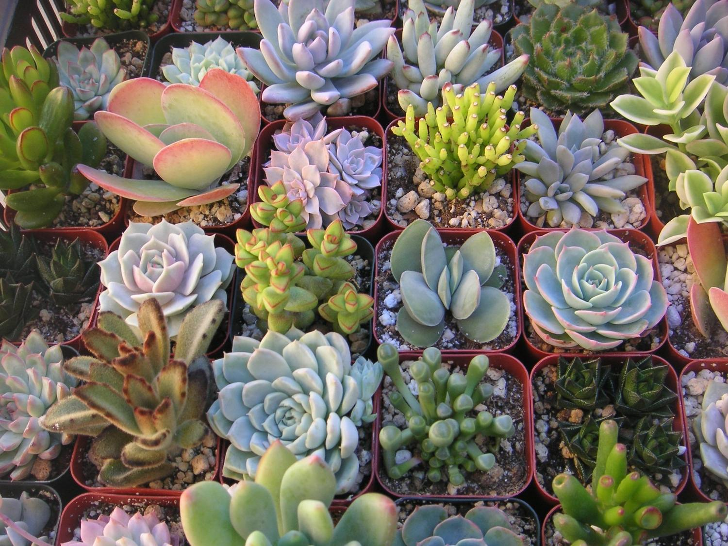A Collection Of 6 Succulent Plants, Great For Terrarium Projects,