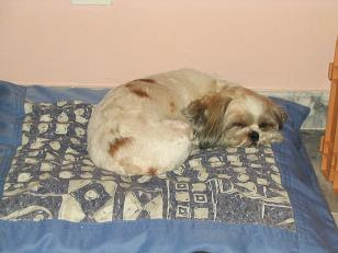 Sushi the Sleepy Shih Tzu