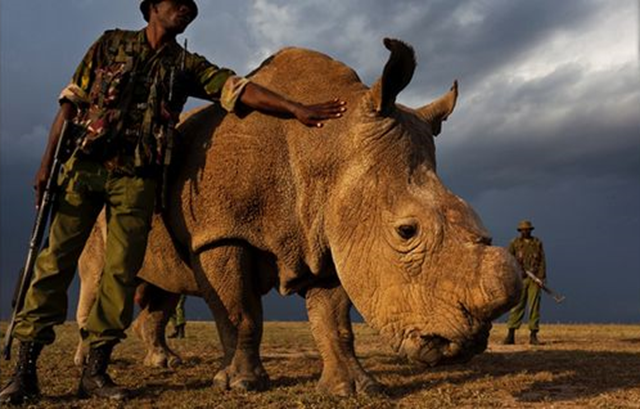 Sudan, The last living male of the northern white rhino species is now under armed guard 24/7 at the Ol Pejeta Conservancy in Kenya. Photo: Cox Media Group