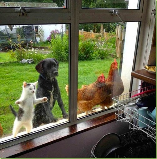 dog cat and chickens waiting for lunch