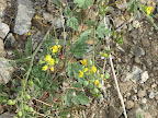 Bladderpod Mustard, AZ Trail 4/16