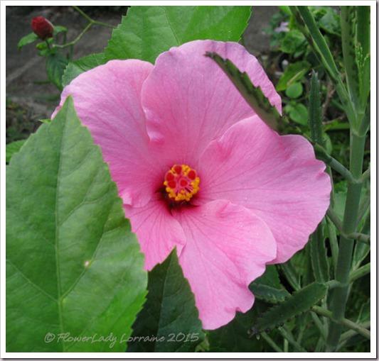 11-26-hibiscus