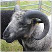 Sheep11.jpg