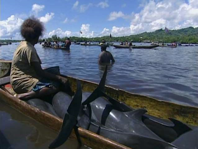 Drive hunting -- when groups of hunters on canoes fan out far off-shore and clap stones together as they round up dolphins -- has been taking place off the Solomon Islands for many years. During just the first three months of 2013, at least 1,674 dolphins were killed by Fanalei villagers. Photo: Washington Post