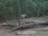 A Eurasian Lynx at the Nashville Zoo 09032011