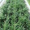 p2 bracted balsam fir.jpg