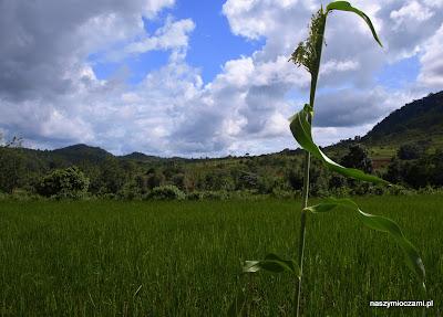 Pola ryżowe...
