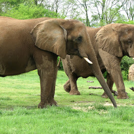 Elephants by Laura Mohoi - Animals Other ( elephants )
