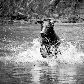 Daphne Running in Water 2 by David Leer - Animals - Dogs Running ( water, oregon, daphne, lincoln, 2015, coast range, drift, lab, close up, spring, portrait, chocolate, mountains, county, female, pet, outdoor, creek, dog, animal,  )