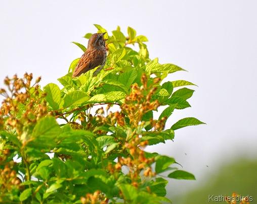 1. song sparrow 7-9-15
