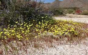 The color is amazing right now in the Anza Borrego Desert. Find a trail, park your car and breathe in the fragrance.