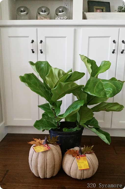 fiddle leaf figs and burlap pumpkins at home depot