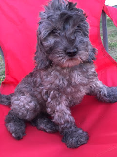 gorgeousdoodles labradoodle puppy