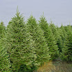 fraser_fir_group11.jpg