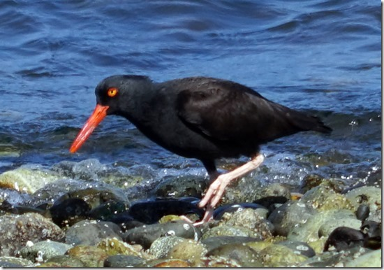 lopez oyster catcher 053015 00011
