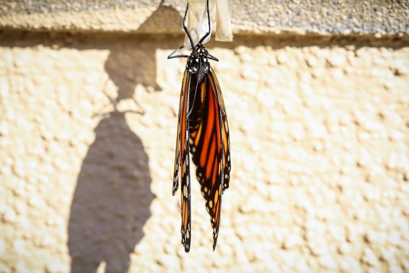 emerging monarchs-11