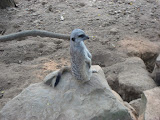 A meerkat at the Nashville Zoo 09032011b