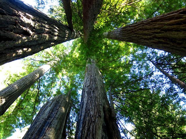 Redwood Treetops