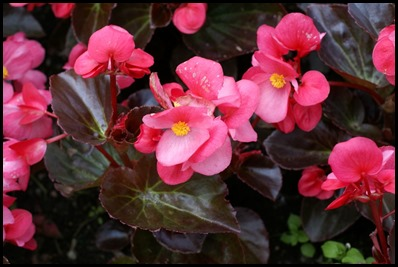 begonia-semperflorens2